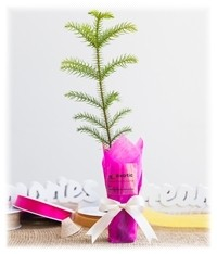 norfolk island pine wedding gift